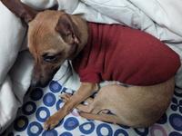 Apatía en perros, Chihuahueño