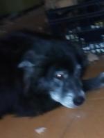 Temblores en perros, Husky siberiano