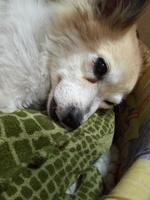Tai, mi perro cruce de ovejero magallánico hembra, tiene debilidad, tos y flemas