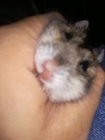 Bulto en la piel en roedores, Hámster ruso