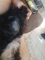 Piel seca en perros, Schnauzer miniatura