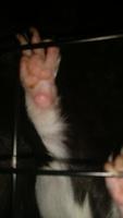 Heridas que no curan o cicatrizan en roedores, Cobaya abisinio