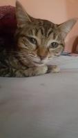 Deshidratación en gatos, Americano de pelo corto