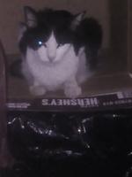 Cuyo, mi gato cruce de manx macho, tiene vómito, vómito amarillo y deshidratación