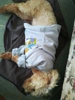 Abdomen inflamado en perros, Pudelpointer