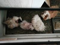 Diarrea en roedores, Cobaya peruano