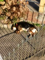 Apatía en perros, Pastor alemán