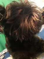 Titi, mi perro schnauzer miniatura hembra, tiene hocico hinchado