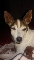 Kike, mi perro ratonero valenciano macho, tiene hocico hinchado