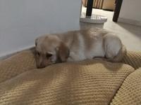 Tos en perros, Labrador