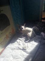 Aborto en perros, Bulldog francés