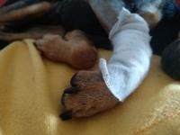 Dolor de pata en perros, Pinscher alemán