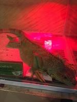 Dificultad para defecar en reptiles, Iguana verde