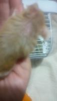 Temblores en roedores, Ratón común