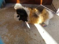 Dificultad para mover las patas traseras en roedores, Cobaya