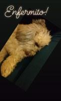 Dificultad para mover las patas traseras en perros, Lhasa apso