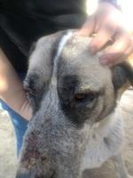 Leona, mi perro mastín del pirineo hembra, tiene heridas, llagas y heridas que no curan o cicatrizan