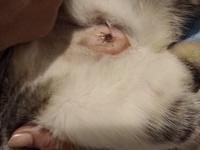 Bulto en la piel en gatos, Común europeo