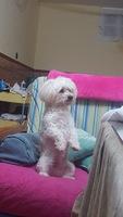 Ansiedad al comer en perros, Bichon maltés