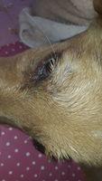 Falta de pelo alrededor de los ojos en perros, Labrador