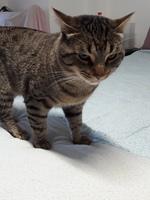 Apatía en gatos, Común europeo