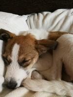 Vómito verde en perros, Jack Russell terrier