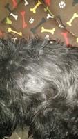 Ojos rojos en perros, Schnauzer miniatura