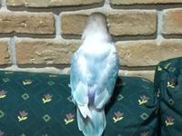 Heridas que no curan o cicatrizan en aves, Agapornis personatus