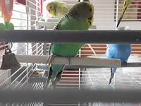 Cojera en aves, Periquito cara dorada