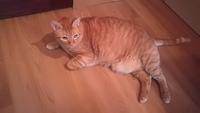 Orina demasiado frecuentemente en gatos, Europeo de pelo corto