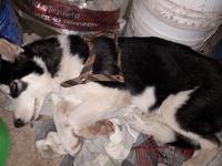 Fiebre en perros, Husky siberiano