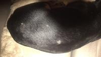 Sufre un problema dermatológico en perros, Pinscher miniatura