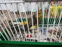 Curro, mi ave canario de raza española macho, tiene respiración acelerada