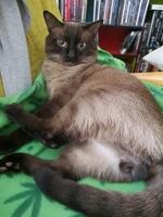Aumento de ladridos, llantos y aullidos en gatos, Siamés