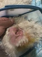 Enrojecimiento orejas en perros, Caniche