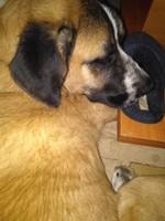 Vómito amarillo en perros, Mastín español
