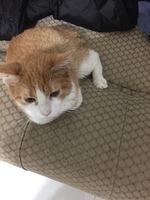 Dificultad para mover las patas traseras en gatos, Europeo de pelo corto