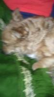 Arcadas en perros, Yorkshire terrier