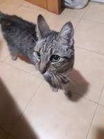 Tomi, mi gato cruce macho, tiene ansiedad al comer y pérdida de peso o adelgazamiento