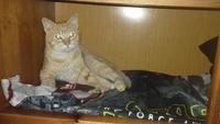 Pérdida de peso o adelgazamiento en gatos, Alemán de pelo largo