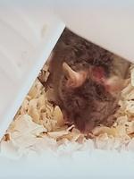 Picor y rascarse en roedores, Ratón común