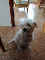 Sed excesiva en perros, Bichon maltés