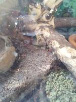 Nilo, mi reptil iguana verde macho, tiene heridas