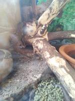 Heridas en reptiles, Iguana verde