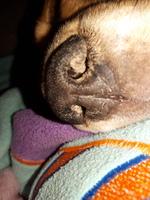 Connie, mi perro beagle hembra, tiene temblores, tiene temblores y respiración acelerada