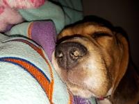 Respiración ruidosa en perros, Beagle
