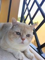 Respira con dificultad en gatos, Persa americano