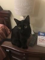 Vómito en gatos, Europeo de pelo corto