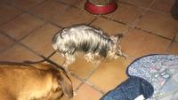 Pekiko, mi perro yorkshire terrier macho, tiene debilidad, pérdida o atrofia muscular y curvamiento espalda