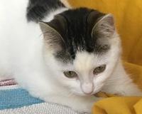 Cat, mi gato común europeo hembra, tiene ojos entrecerrados, ojos rojos y enrojecimiento orejas